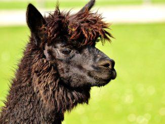 Spuckendes Lama Baby