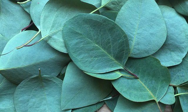 Eukalyptus Bonbons In Der Schwangerschaft